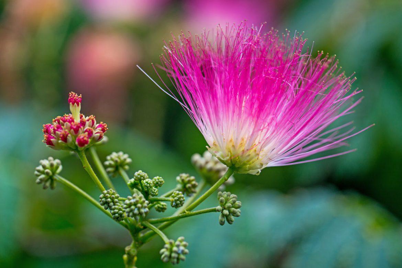 Active ingredient persian silk tree juvena mightylinksfo